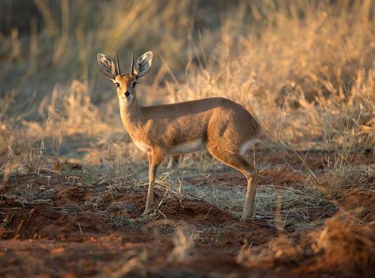 Antilope Afrikaanse savanne